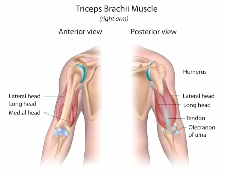 Lateral Head Tricep anatomy